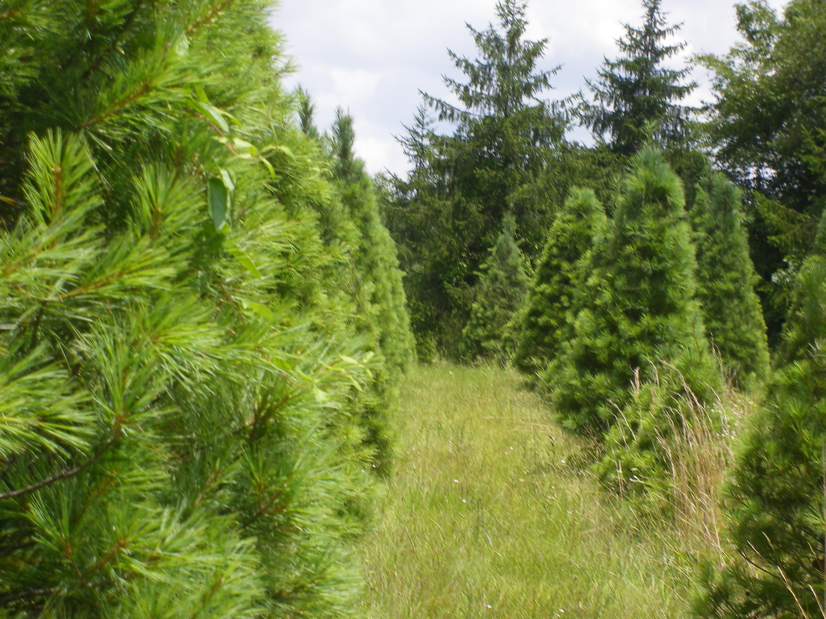 Pinetop Christmas Tree Farm Cut Your Own Tree Pick your own Blueberries.
