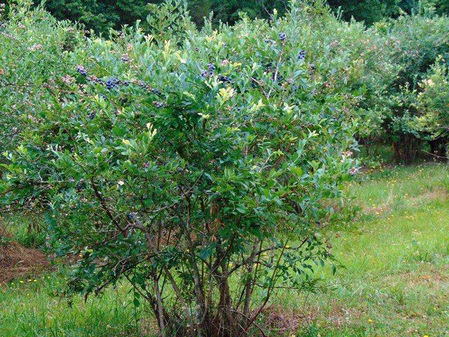 u pick blueberries – pinetop farm christmas trees and blueberries