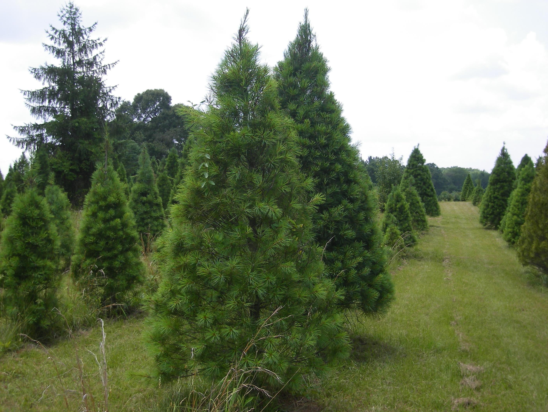 Pinetop Farm Christmas Trees