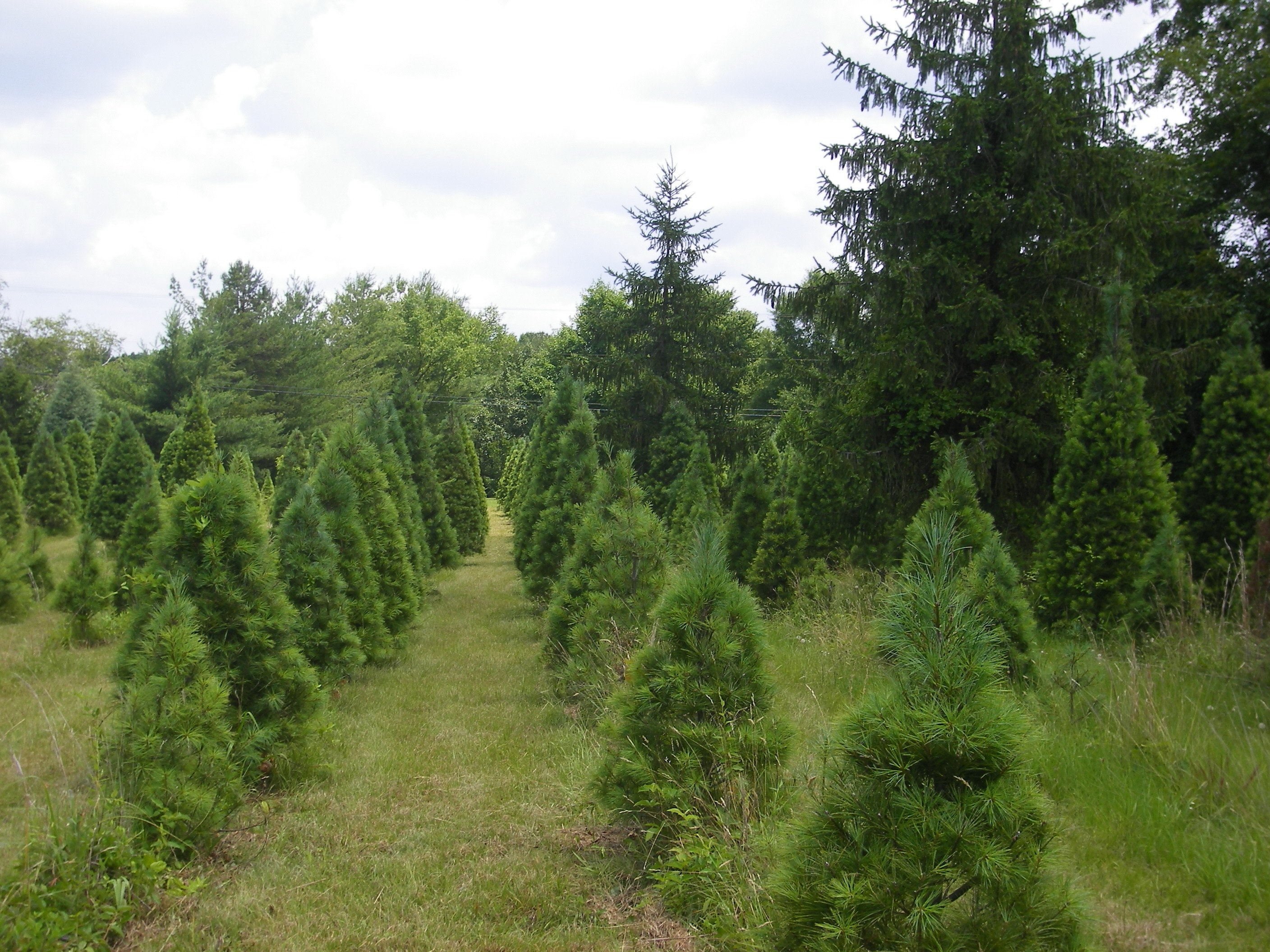 Pine Top Farm Christmas Trees and Blueberry Picking
